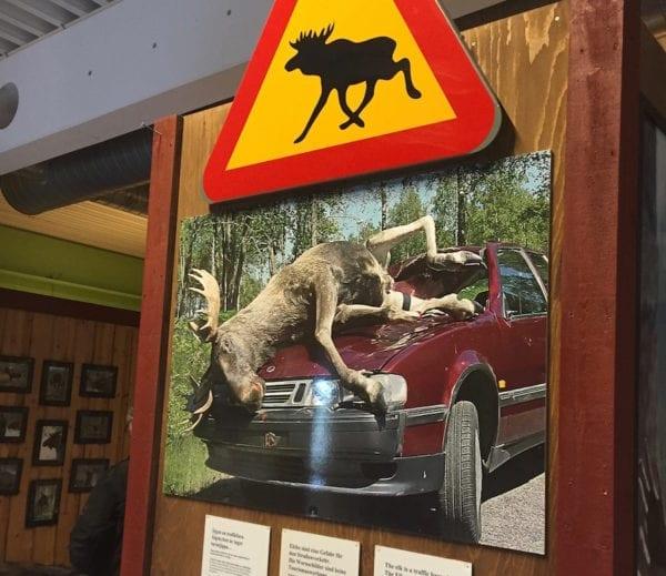 Gefährliche Elche in Schweden