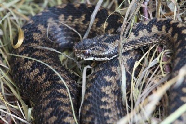Dangerous animal in Sweden - Common Viper snake