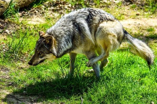 Wild animals in Sweden - wolf