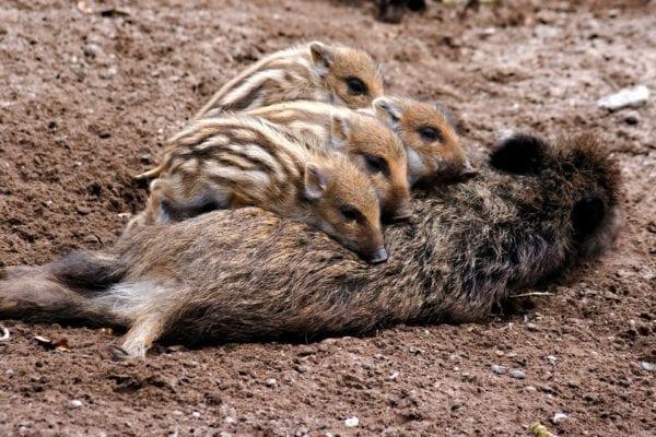 Dangerous animals in Sweden - wild boar