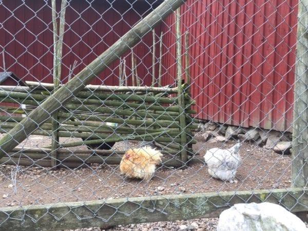 Hühner im Elchpark