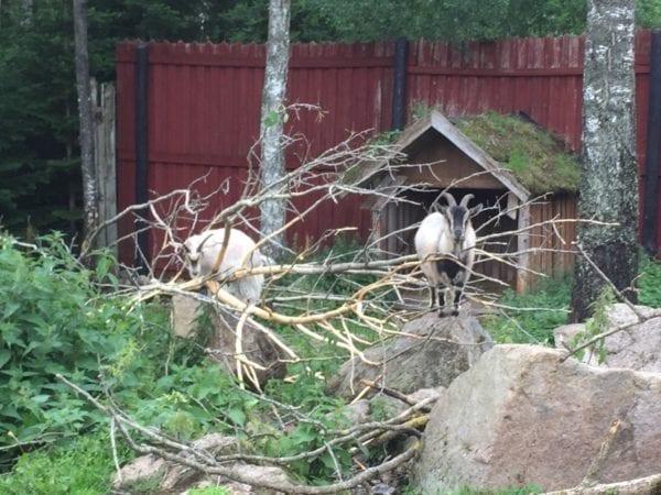 Ziegen im Elchpark